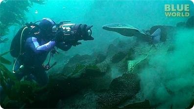 Torpedo ray attacks diver's camera