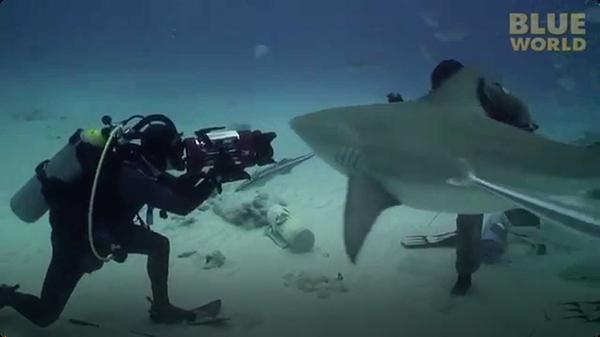 Diver hand feeds Bull sharks!
