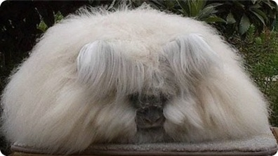 Strange Animal - Angora Rabbit