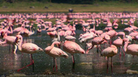 Lake Nakuru - Flamingos & Friends