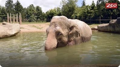 How Elephants Stay Cool
