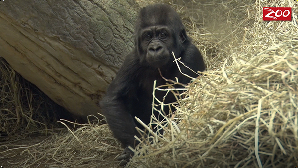 Kamina the Gorilla