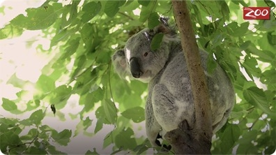 Meet Barnaby the Koala