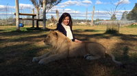 A Close Encounter with an African Lion!