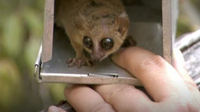 The World's Smallest Lemur (Attenborough and the Giant Egg)