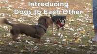 Introducing Dogs to Each Other | Teacher's Pet With Victoria Stilwell
