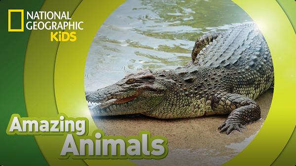Amazing Animals: Crocodile