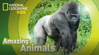 Amazing Animals: Gorilla