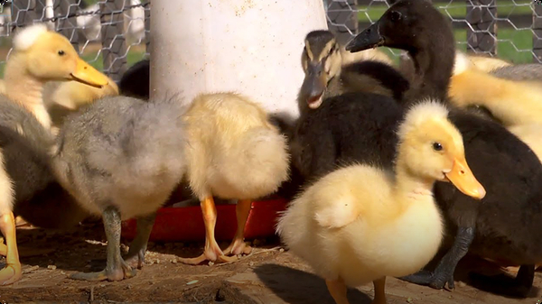 From Duckling to Duck | Farm Raised With P. Allen Smith