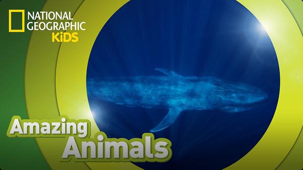 Amazing Animals: Blue Whale