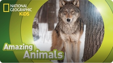 Amazing Animals: Gray Wolf