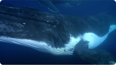 Humpbacks Expertly Navigate Their Way to Food