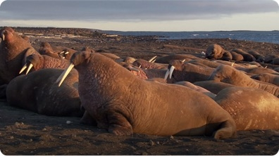 Walruses and Other Sea Animals Enjoy Plenty During Arctic Summers