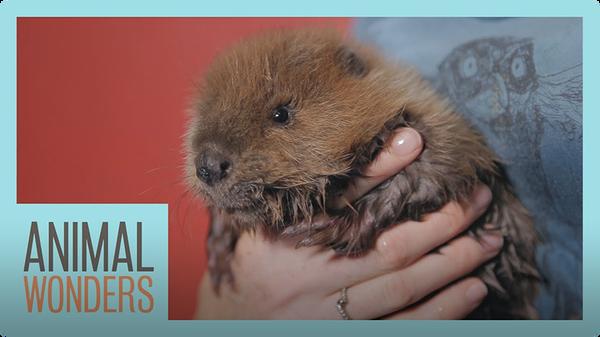 Baby Beaver!