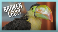 Rescued Baby Toucan