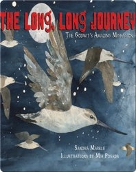 The Long, Long Journey: The Godwit's Amazing Migration