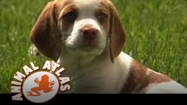 Animal Atlas: Beagles