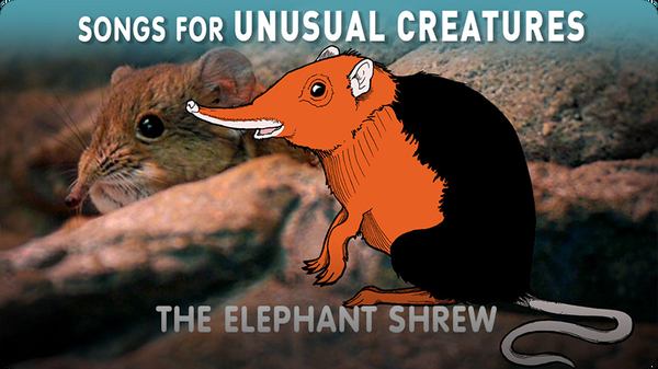 Songs for Unusual Creatures: The Elephant Shrew