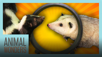 Opossum and Skunk Get a Wheel!