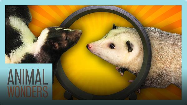 Opossum and Skunk Get a Wheel!