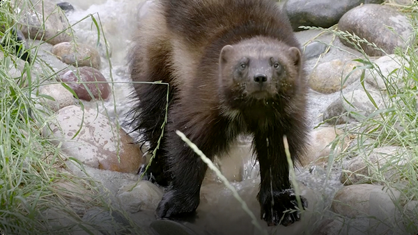 Find Out Why Bears Even Run From the Small, But Fierce, Wolverine