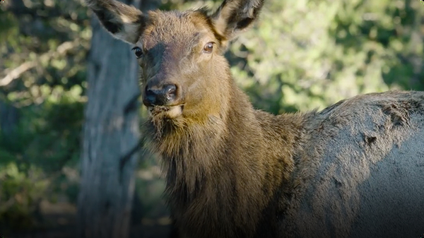 On the Hunt for the Elusive Rocky Mountain Elk
