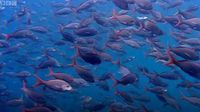 Thousands of sharks visit a sea mount - Blue Planet: A Natural History of the Oceans