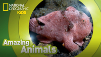 Amazing Animals: Frogfish