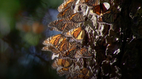 Monarchs Fly as the Sun Warms the Day