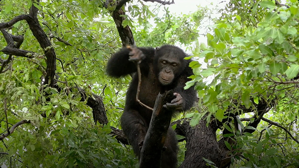 Differences in Tool Building Among Female and Male Chimps