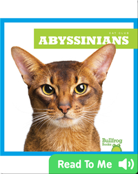 Cat Club: Abyssinians