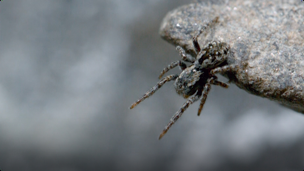 Life Above the Clouds: Himalayan Jumping Spider