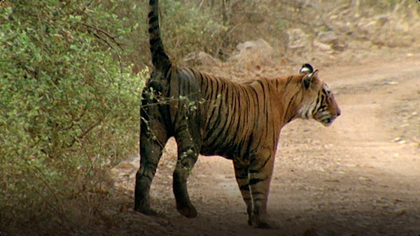 Natural World: Tiger Cubs