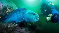 Jonathan Bird's Blue World: Atlantic Wolffish of Maine!