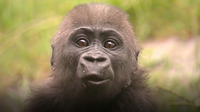 Frank the Baby Gorilla Has to Fend for Himself - Why That's a Good Thing