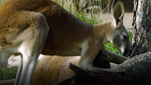 People Travel From All Over The World to Catch A Glimpse of These Kangaroos