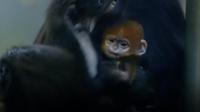 Why Infant Francois Langur Monkeys Are Born Orange