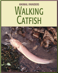 Animal Invaders: Walking Catfish