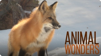 Meet and Greet: Seraphina the Red Fox
