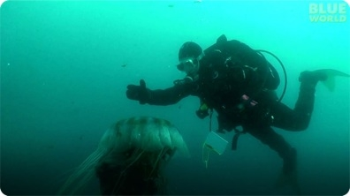 Diver Encounters Massive Jellyfish!