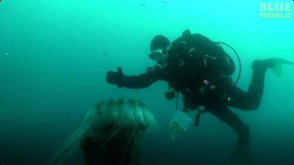 Diver Encounters Massive Jellyfish!
