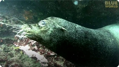 Sea lions play with diver underwater!