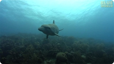 Diver has close encounter with Bottlenosed Dolphin!