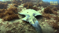 Electric Torpedo Ray!