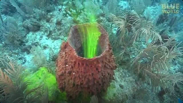 Amazing footage of sponges pumping!