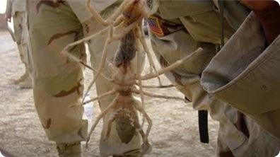 Giant Spider - Camel Spider in Iraq