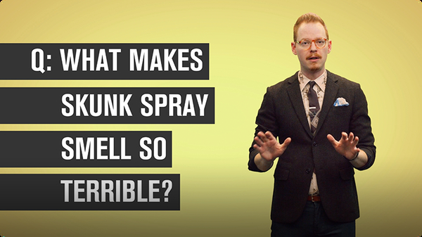 What Makes Skunk Spray Smell So Terrible?