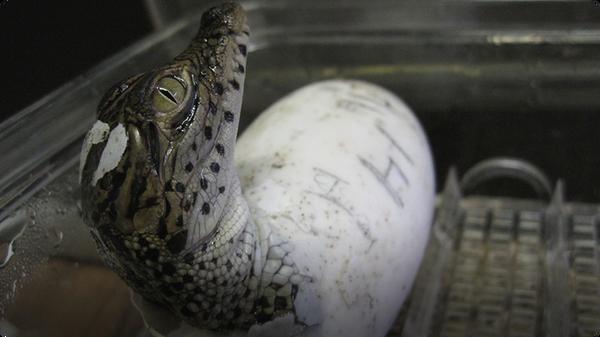 Rare Baby Crocs Born at National Zoo