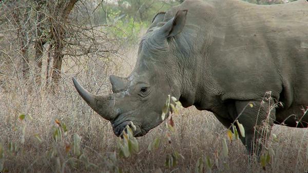 Did You Know: Rhinoceros