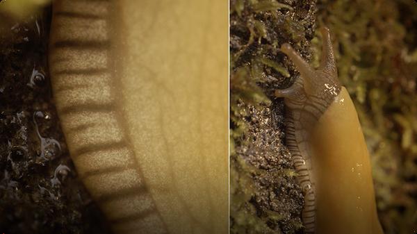 Banana Slugs: Secret of the Slime